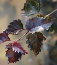 Betula pendula 'Purpurea', Береза повисла 'Пурпуреа'