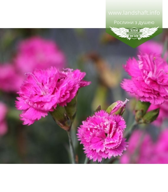 Dianthus plumarius 'Pretty Becky', Гвоздика 'Пріті Бекі'