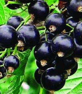 Ribes nigrum 'Скарб' Смородина черная