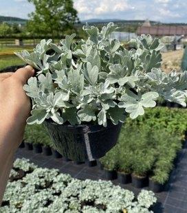 Artemisia stelleriana 'Silver Brocade', Полынь Стеллера 'Силвер Брокейд'