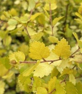 Betula nana 'Golden Treasure', Береза карликова 'Голден Трежер'