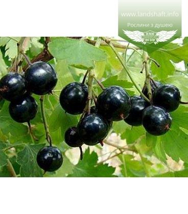 Ribes nigrum 'Венера' Смородина черная