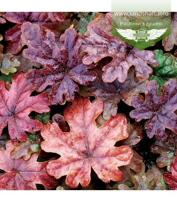 Tiarella cordifolia 'Pink Skyrocket', Тіарелла серцелиста 'Пінк Скайрокет'