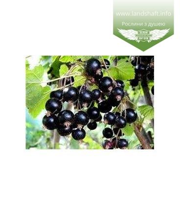 Ribes nigrum 'Вернисаж' Смородина черная