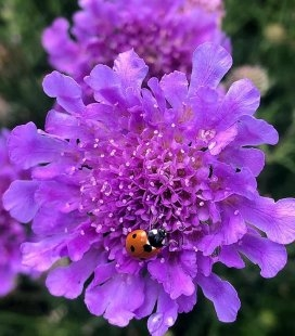 Scabiosa columbaria 'Vivid Violet', Скабіоза голубина 'Вівід Вайолет'