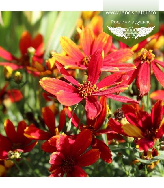 Coreopsis hybrida 'Ladybird', Кореопсис 'Ледиберд'