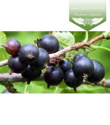 Ribes nigrum 'Партизанка Брянска' Смородина черная