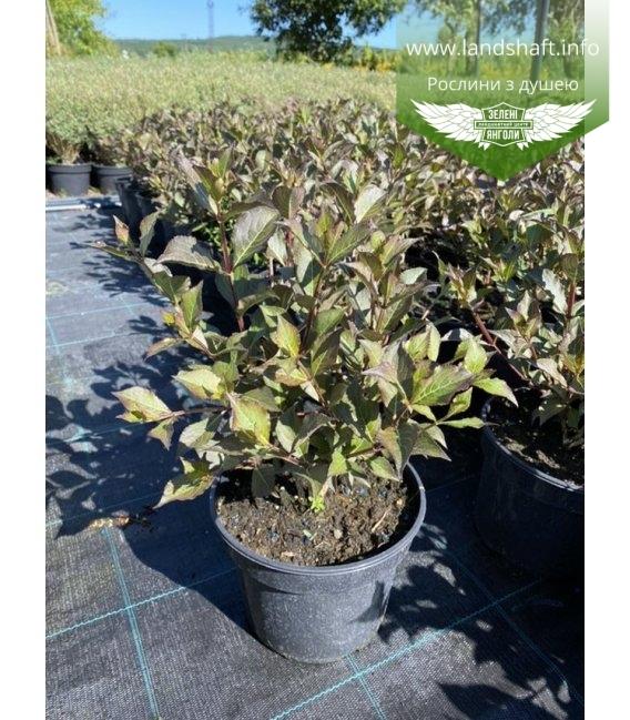 Weigela florida 'Nana Purpurea', Вейгела квітуча 'Нана Пурпуреа'