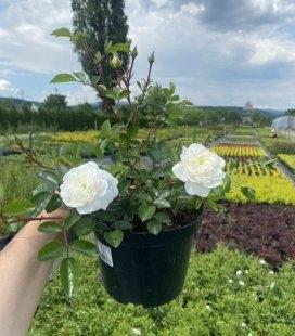 Цветущая роза бордюрная 'Fairy' купит с питомника с доставкой