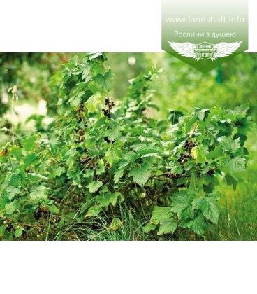 Ribes nigrum 'Прекрасное мгновение' Смородина черная