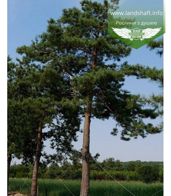 Pinus sylvestris, Сосна звичайна