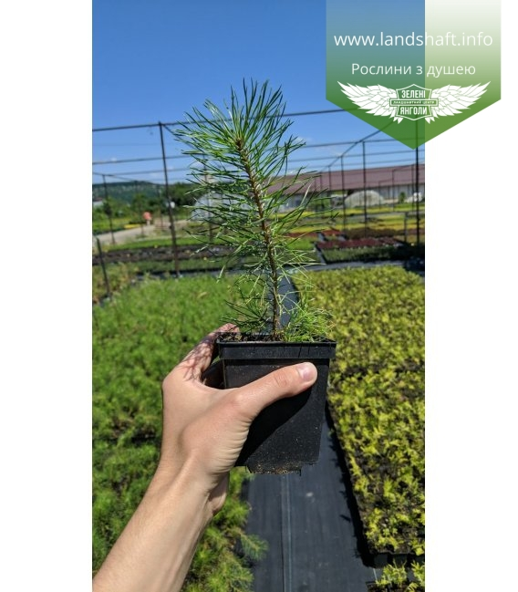 Pinus sylvestris, Сосна звичайна в горщику 0.5л
