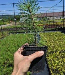 Pinus sylvestris, Сосна звичайна в горшке 0.5л