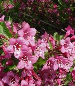 Weigela florida 'Rumba', Вейгела цветущая 'Румба'