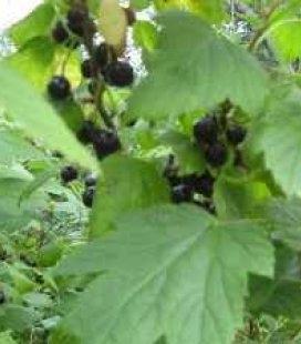 Ribes nigrum 'Искушение' Смородина черная