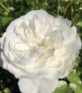 Rosa polyantha 'Fairy', Троянда бордюрна 'Фейрі'