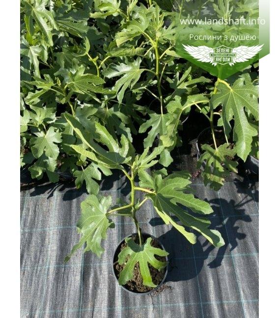 Ficus carica 'Dalmatie', Инжир Далматский