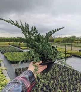 Juniperus horizontalis 'Hughes', Ялівець повзучий 'Хюз'