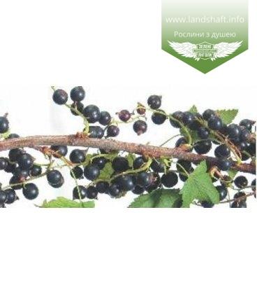 Ribes nigrum 'Кипиана' Смородина черная