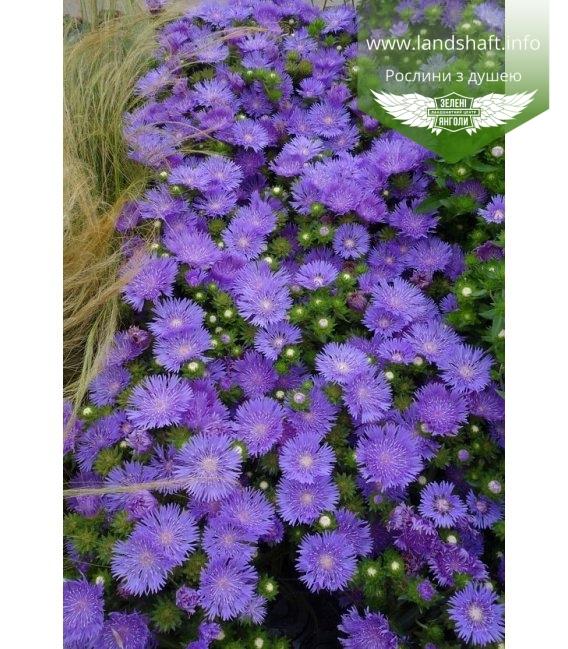 Stokesia laevis 'Mel's Blue', Стокезия гладкая 'Мелз Блу'