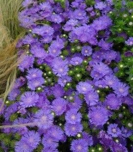 Stokesia laevis 'Mel's Blue', Стокезія гладка 'Мелз Блу'