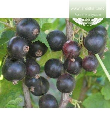 Ribes nigrum 'Краса Львова' Смородина черная
