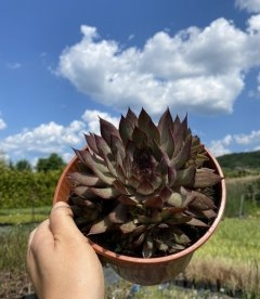 Sempervivum x hybridum 'BigSam Country Red', Молодило 'БігСем Кантрі Ред'