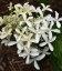 Hydrangea paniculata 'Great Star', Гортензия метельчатая 'Грейт Стар'