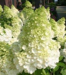 Hydrangea paniculata 'Magical Moonlight', Гортензія волотиста 'Меджікал Мунлайт'