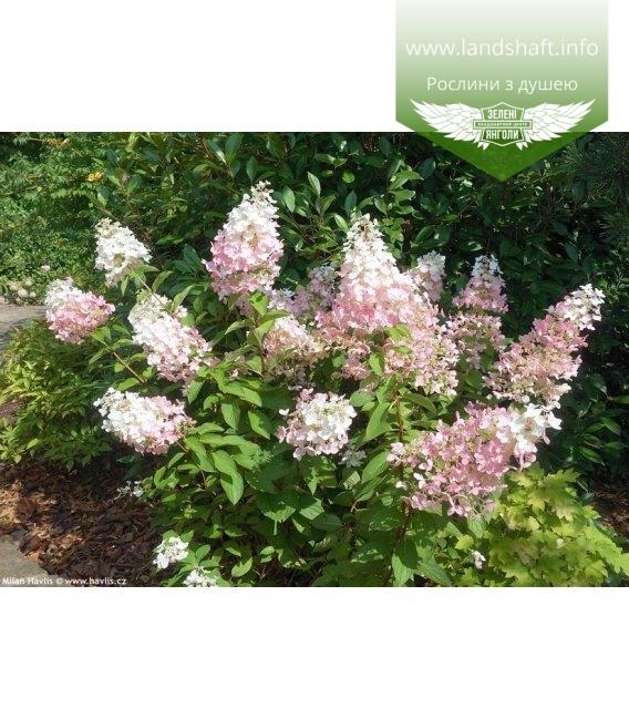 Hydrangea paniculata 'Confetti', Гортензия метельчатая 'Конфети'