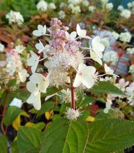 Hydrangea paniculata 'Confetti', Гортензія волотиста 'Конфетті'