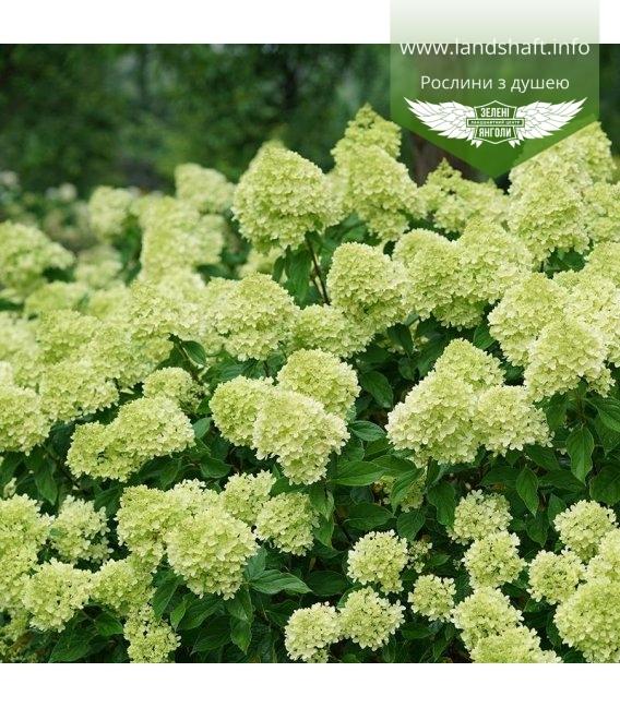 Hydrangea paniculata 'Little Lime', Гортензія волотиста 'Літл Лайм'