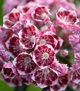 Kalmia latifolia 'Kaleidoscope', Кальмія широколиста Калейдоскоп'