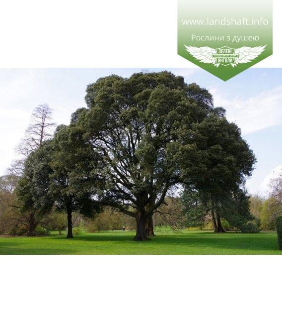 Quercus ilex, Дуб кам'яний