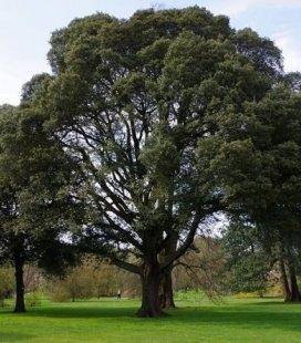 Quercus ilex, Дуб каменный
