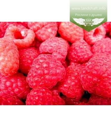Rubus 'Марія (червона)' Малина