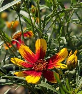 Coreopsis hybrida 'Ladybird', Кореопсис 'Ледібьорд'