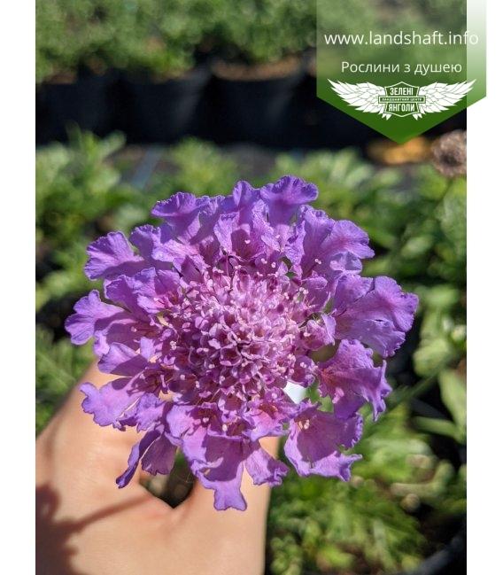 Scabiosa columbaria 'Vivid Violet', Скабиоза голубиная 'Вивид Вайолет'