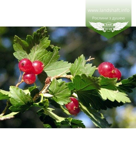 Ribes alpinum 'Schmidt', Смородина альпійська 'Шмідт'