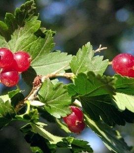 Ribes alpinum 'Schmidt', Смородина альпийская 'Шмидт'