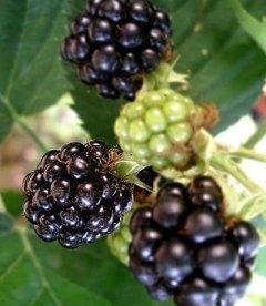 Rubus caesius 'Thornfree' Ежевика