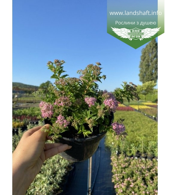 Spiraea japonica 'Japanese Dwarf', Спирея японская 'Джапаниз Драфт'