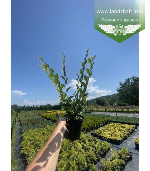 Cotoneaster lucidus Кизильник блестящий