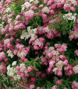 Spiraea japonica 'Genpei / Shirobana', Спирея японская 'Генпей / Широбана'