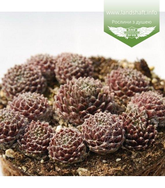 Sempervivum x hybridum 'Sirius', Молодило 'Сіріус'