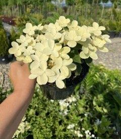 Hydrangea paniculata 'Polestar', Гортензия метельчатая 'Поулстар'