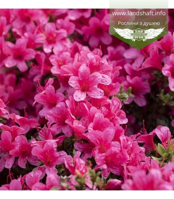 Azalea japonica 'Drapa', Азалія японська 'Драпа'
