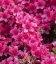 Azalea japonica 'Drapa', Азалия японская 'Драпа'