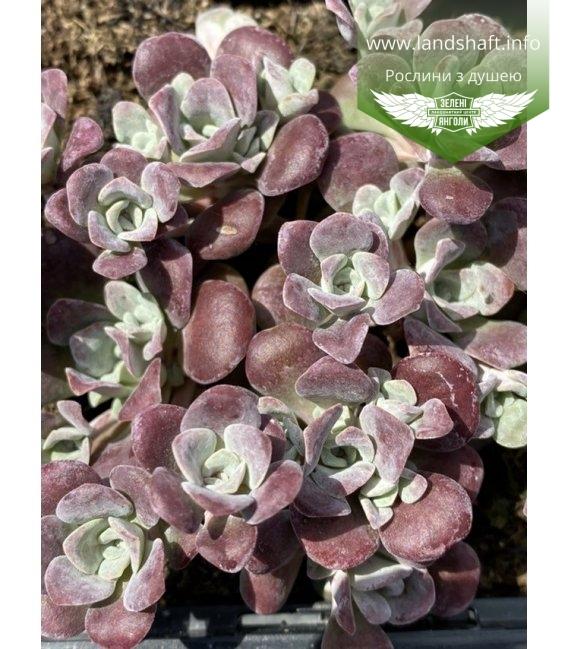 Sedum spathulifolium 'Purpureum', Очиток гибридный 'Пурпурэум'