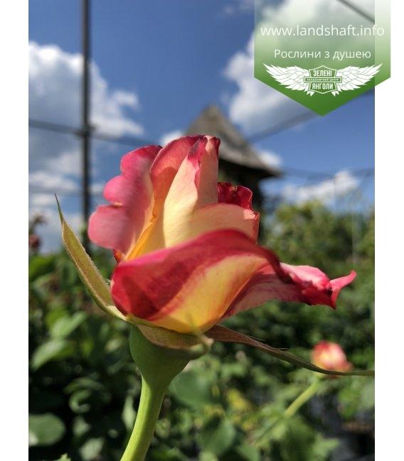 Rosa 'Duett', Роза чайно-гибридная 'Дуэт'